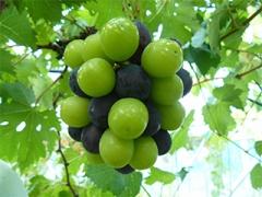 ラピアビンヤードのぶどう品種一覧をイメージする画像