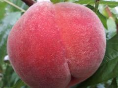 ラピアビンヤードの桃商品一覧イメージ画像